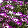 Mesembryanthemums 5 by Steve Purnell