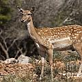 Mesopotamian Fallow Deer 2 by Eyal Bartov