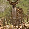 Mesopotamian Fallow Deer 3 by Eyal Bartov