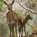 Mesopotamian Fallow Deer 4 by Eyal Bartov