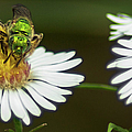 Metallic Green Wasp by Optical Playground By MP Ray