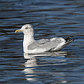 Mew Gull Or Common Gull Dseab005 by Gerry Gantt