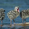 Mew Gull Three Chicks by Tom Vezo