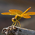 Mexican Amberwing by David Salter