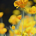 Mexican Gold Poppies by Tamara Becker