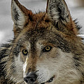 Mexican Grey Wolf Upclose by Ernie Echols