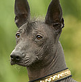 Mexican Hairless Dog by Jean-Michel Labat