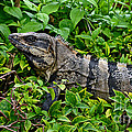 Mexican Spinytailed Iguana  by Rebecca Morgan