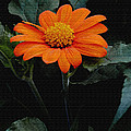 Mexican Sunflower by James C Thomas