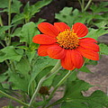 Mexican Sunflower by Michael Cazad