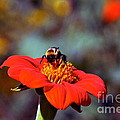 Mexican Sunflower Open House Party Time by Byron Varvarigos