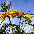 Mexican Sunflower by Zina Stromberg