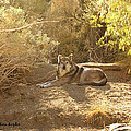 Mexican Wolf  by Barbara Snyder