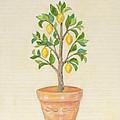 Meyer Lemon Tree by Annamarie Lombardo
