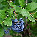 Michigan Blueberries by Maria Dryfhout