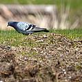 Michigan Rock Pigeon by Linda Kerkau