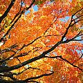 Michigan Sugan Maple by Dean Ginther