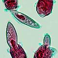 Microscopic Predation by David Salter