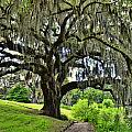 Middleton Place Oak  by Allen Beatty