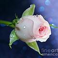 Midnight Rose by Krissy Katsimbras
