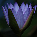Midnight Water Lily by Judy Whitton