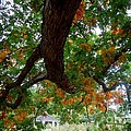 Might Fall Oak #3 by Jacqueline Athmann