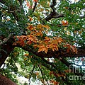 Mighty Fall Oak #1 by Jacqueline Athmann
