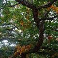 Mighty Fall Oak #2 by Jacqueline Athmann