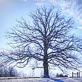Mighty Oak In Winter by Cricket Hackmann