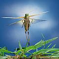 Migratory Locust Flying by Satoshi Kuribayashi