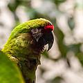 Military Macaw by Bianca Nadeau