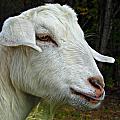 Milkshakes The Goat by Vicki Dreher
