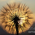 Beauty Of The Dandelion 2 by Bob Christopher