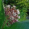 Milkweed Flowers And Leaves by MTBobbins Photography