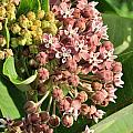 Milkweed Flowers In Bud by Valerie Kirkwood