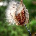 Milkweed  by Linda Covino