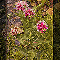 Milkweed Loving A Mountain Stream Abstract Flower Painting by Omaste Witkowski