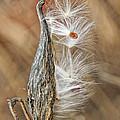 Milkweed Pod And Seeds by William Selander