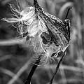 Milkweed Pod Monochrome by Steve Harrington