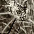 Milkweed Pod Sepia by Steve Harrington