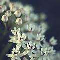 Milkweed  by Saija  Lehtonen