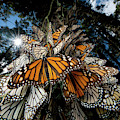 Millions Of Monarch Butterflies Travel by Joel Sartore