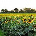 Millions Of Sunflowers by Danielle  Parent