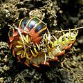 Millipede Polydesmida - Sigmoria Aberrans by Mother Nature