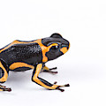 Mimic Poison Dart Frog by David Kenny