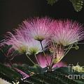 Mimosa by Linda C Johnson