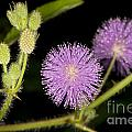Mimosa Pudica  by Anthony Totah