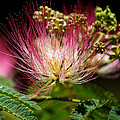 Mimosa- The Beautiful Bloom by Kim Pate