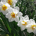 Miner's Wife Daffodils by Mike and Sharon Mathews