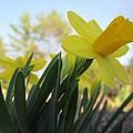 Mini Daffodils by MTBobbins Photography